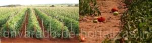 envarado de tomate, tomate, campo abierto